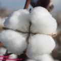 قیمت بهترین انواع کنجاله پنبه دانه در کشور چگونه می باشد ؟
