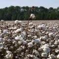 فروش انواع کنجاله پنبه دانه باکیفیت در کشور چگونه است ؟